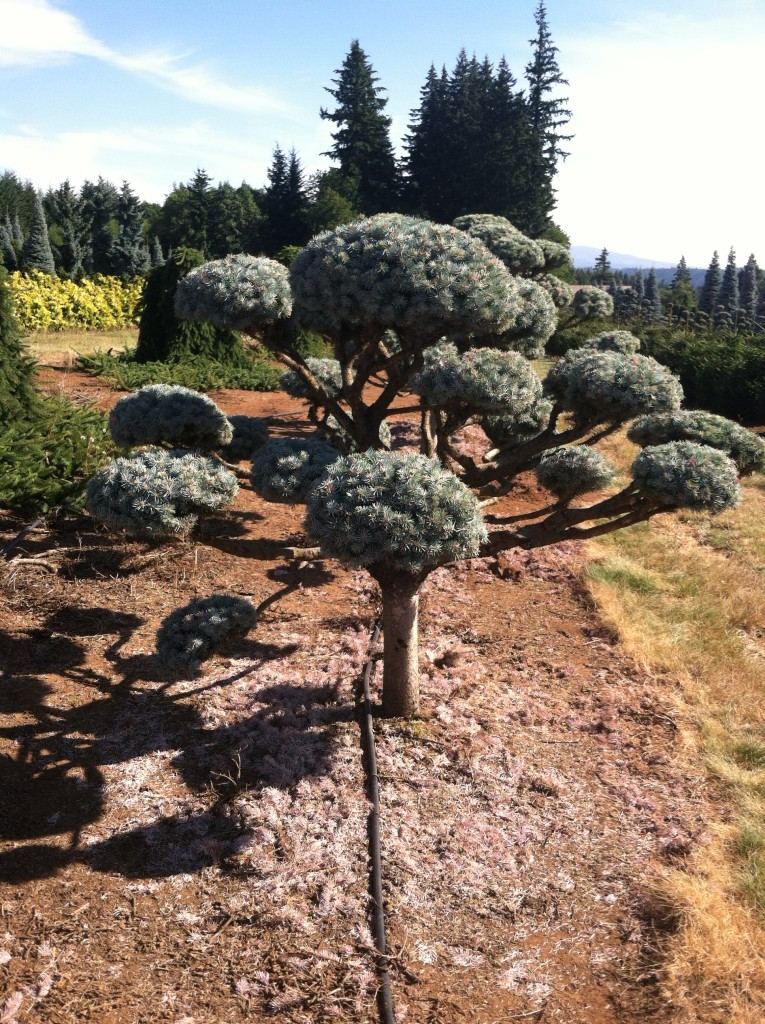 conifer gardens, transplanted and still blooming, cinthia milner, jon merrill