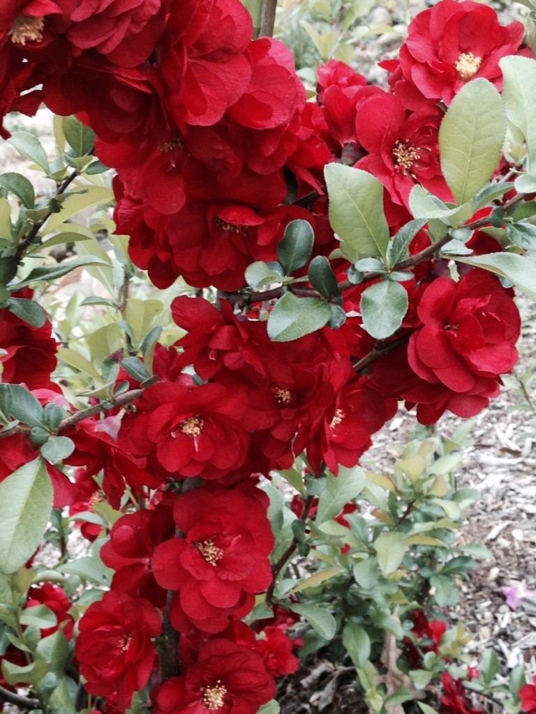 Do You Sell Japonica? Transplanted and Still Blooming, Cinthia Milner, quince blooms