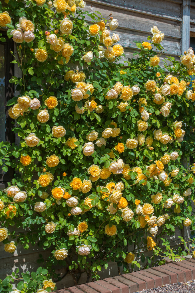 Growing David Austin Roses, Graham Thomas, Transplanted and Still Blooming, Cinthia Milner