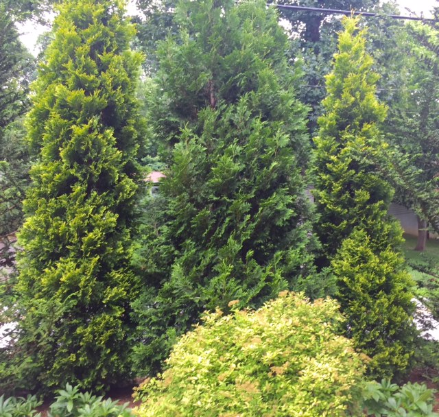 Stately conifers, A Native Garden, Transplanted and Still Blooming, Cinthia Milner