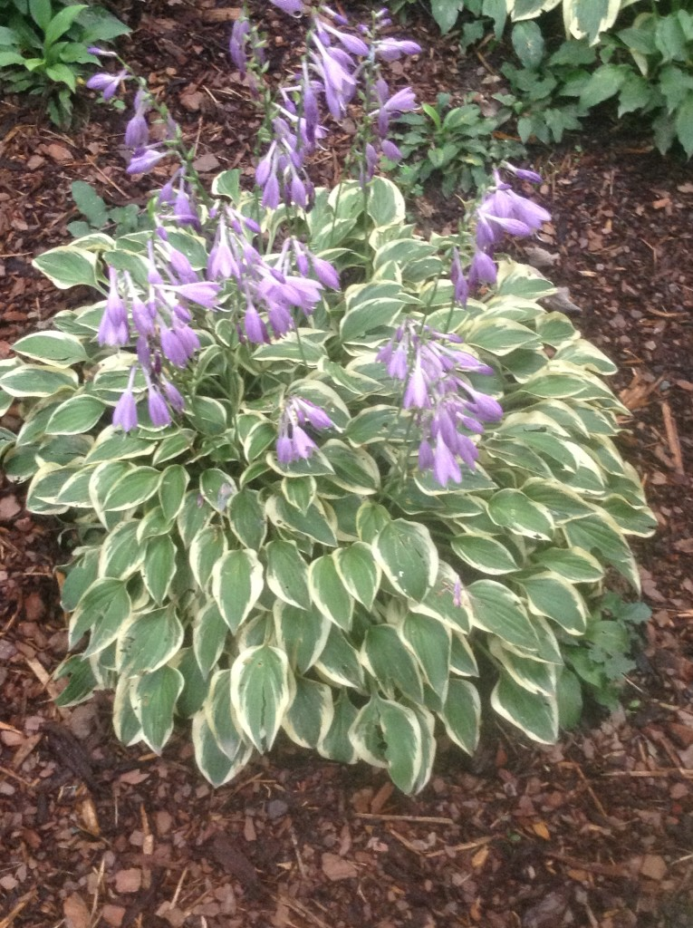 Hush puppies hosta, what can I plant on a bank, transplanted and still blooming, cinthia milner