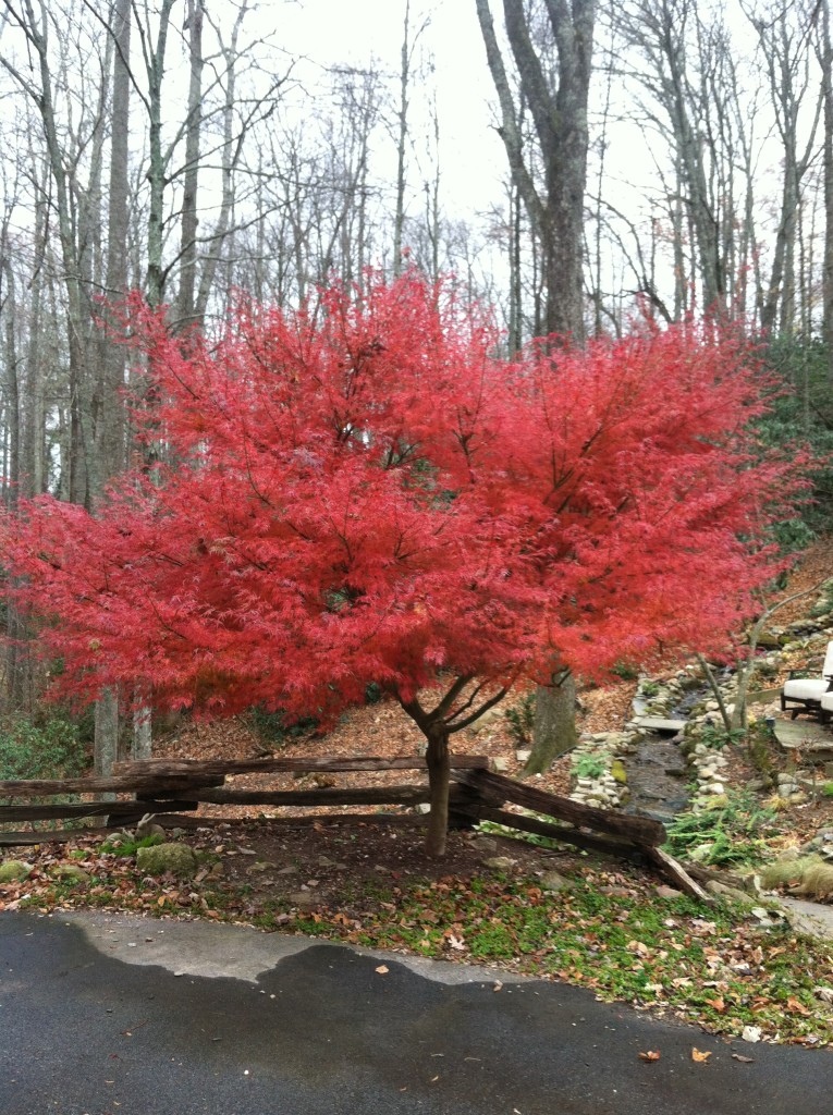 Seiryu Japanese Maple, What Can I Plant on a Bank, Transplanted and Still Blooming, Cinthia Milner