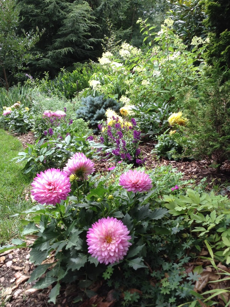 BB Barns Garden Center, Dahlia Border, Transplanted and Still Blooming, Cinthia Milner