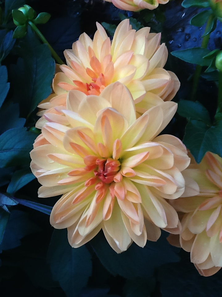 dahlia transplanted and still blooming cinthia milner