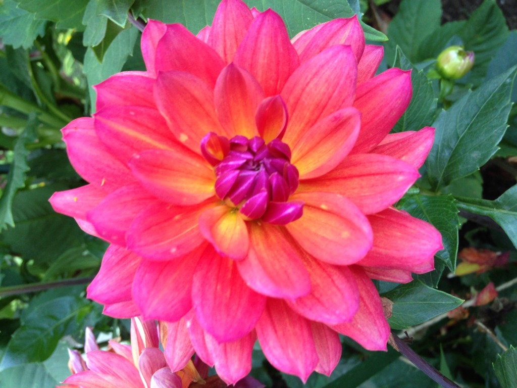 firepot dahlia transplanted and still blooming cinthia milner