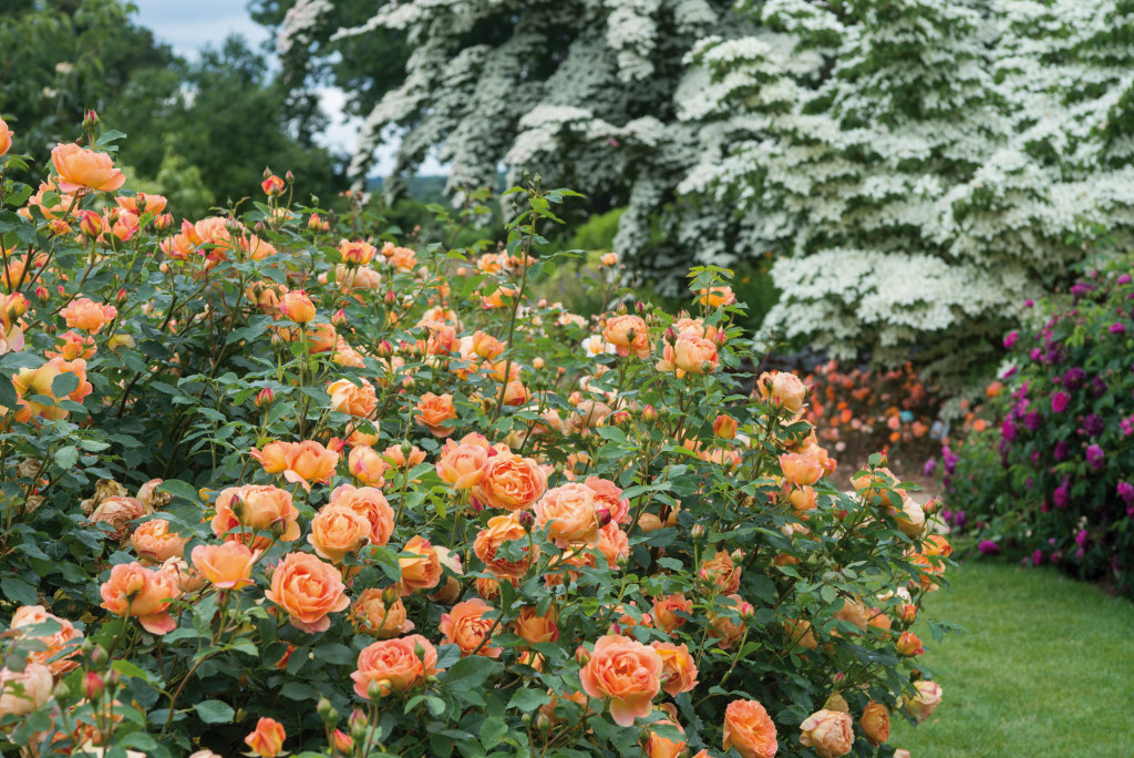 cinthia milner, transplanted and still blooming, david austin english roses, lady of shallot