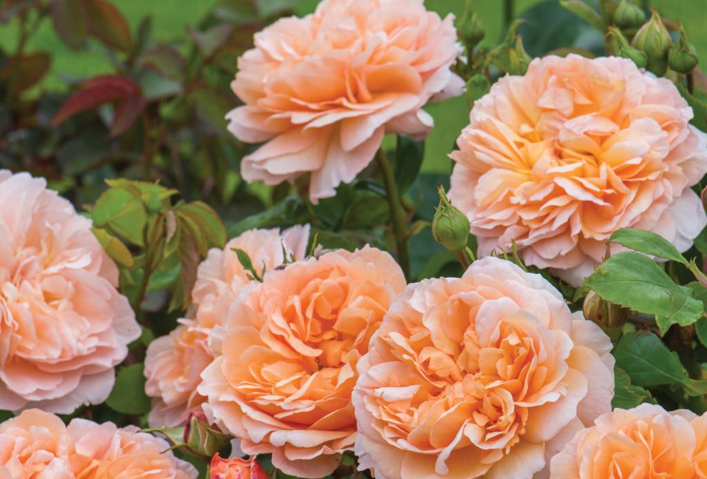 cinthia milner transplanted and still blooming lady gardener david austin rose