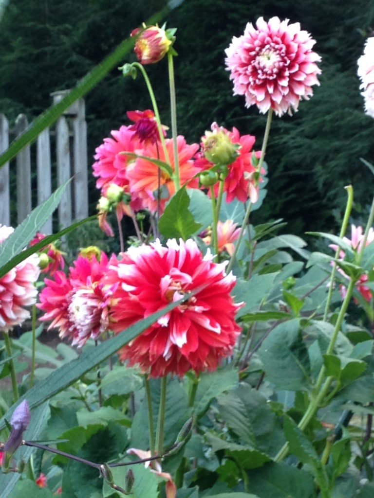dahlia garden transplanted and still blooming cinthia milner