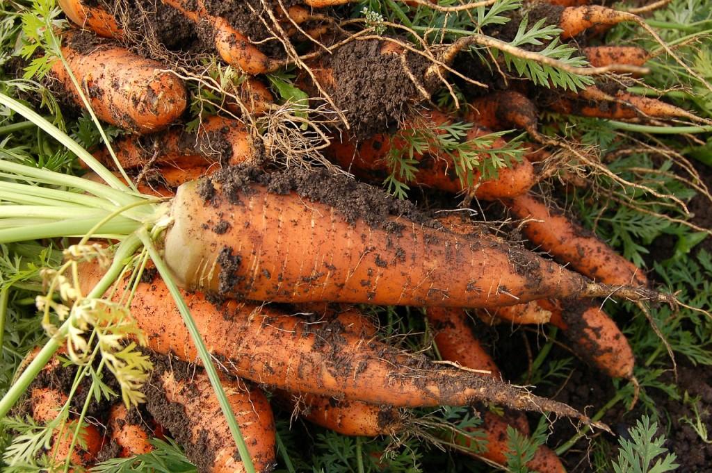 garden carrots transplanted and still blooming cinthia milner