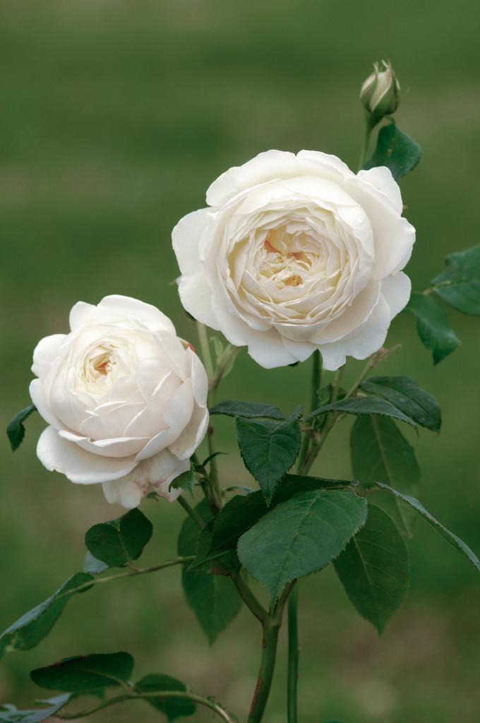 Growing David Austin English Roses, Transplanted and Still Blooming, Cinthia Milner