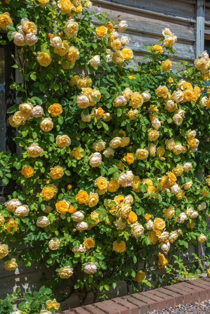 Growing David Austin Roses, Graham Thomas, Transplanted and Still Blooming, Cinthia Milner