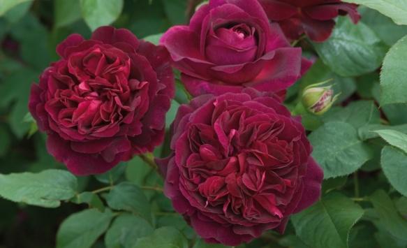 Growing David Austin English Roses, Munstead Wood, Transplanted and still Blooming, Cinthia Milner