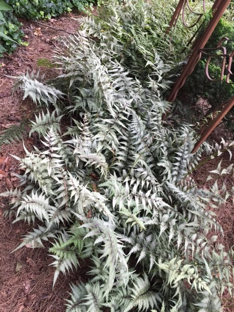 Japanese Painted Fern, Transplanted and Still Blooming, Cinthia Milner