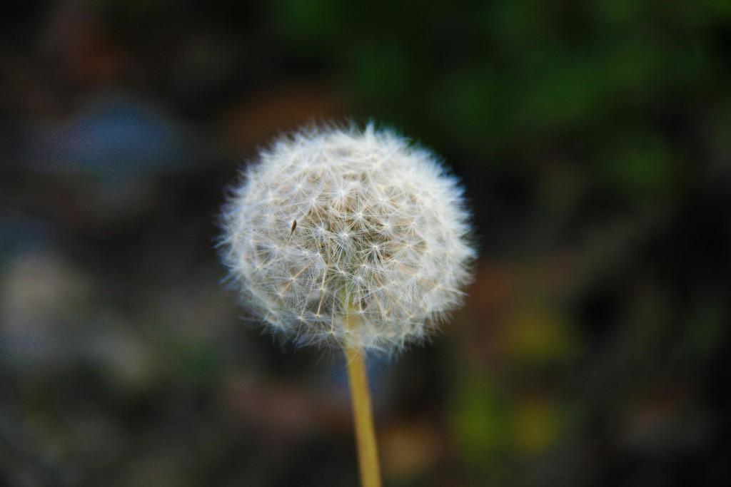 Dandelion, Big People Jobs and Devils, Transplanted and Still Blooming, Cinthia Milner