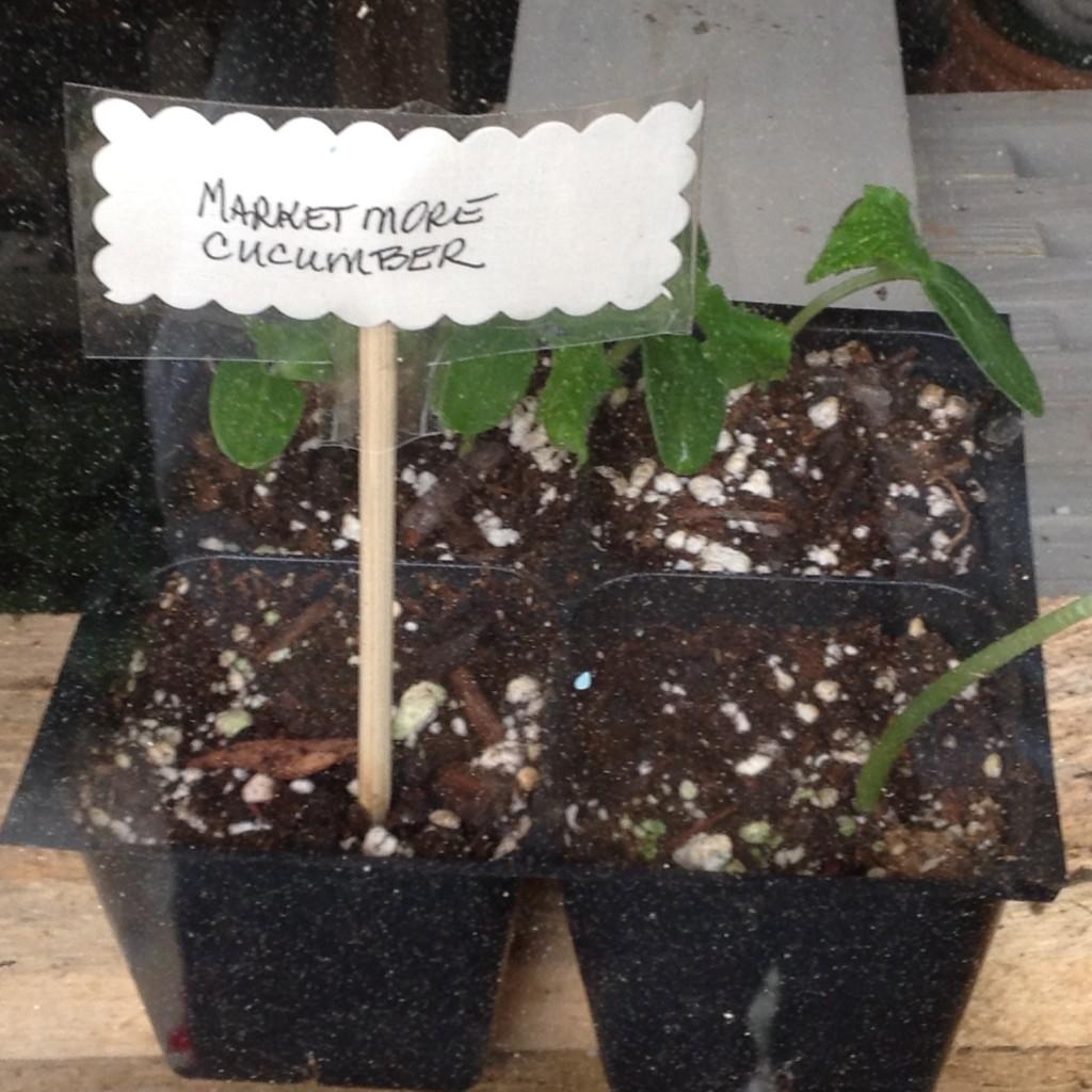Pinterst Worthy Garden, Transplanted and Still Blooling, Cinthia Milner