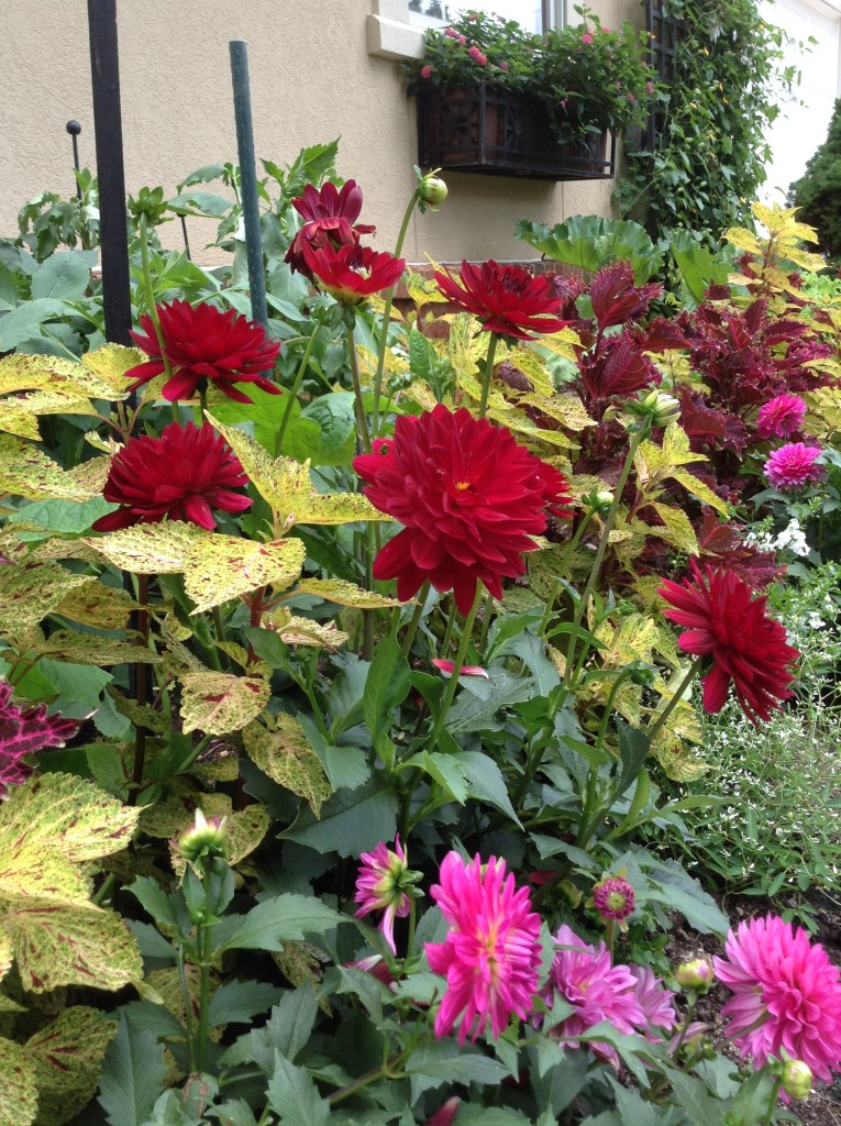 BB Barns Garden Center, Red dahlias and coleus, Transplanted and Still Blooming, Cinthia Milner
